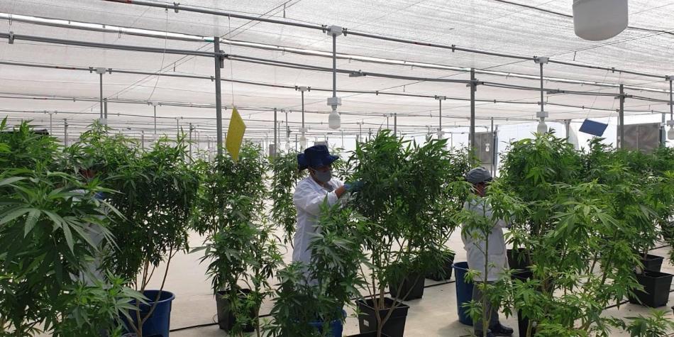 Las oportunidades que se le abren al país con el nuevo decreto del cannabis